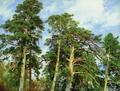 Верхушки сосен - 1890 го